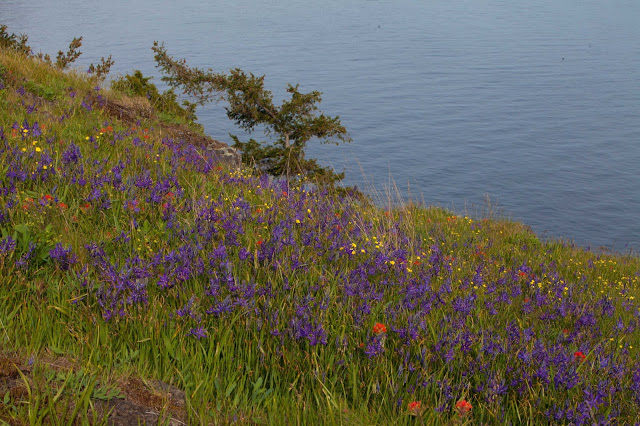 Camas on the east side of Hummingbird Hill