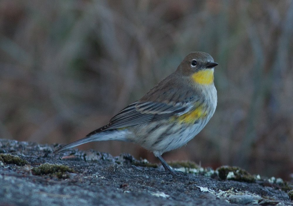 Yellow-rumped warbler, a nester preparing to head south for the winter