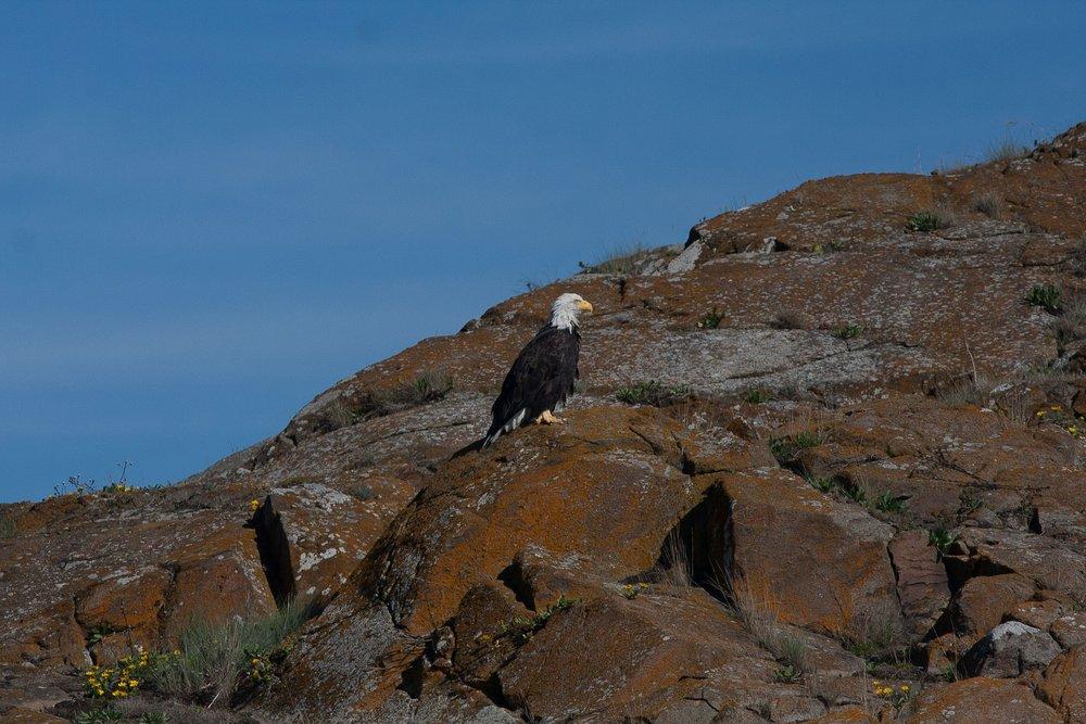 Bald eagle on Deadman Island