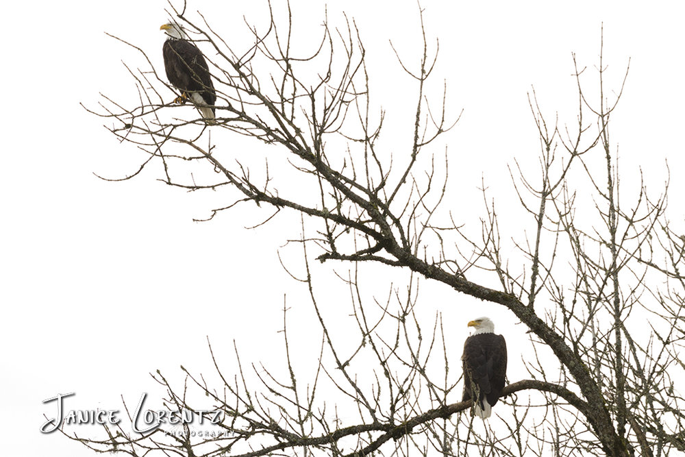 The eagles are busy in the Ridgefield National Wildlife Refuge, too. I enjoyed seeing them perched in the tree and adult eagles competing with the juvenile eagles for food. Sadly for the juvenile who lost it's prize to an adult pair, he left hungry. Photo courtesy of Janice Lorentz.