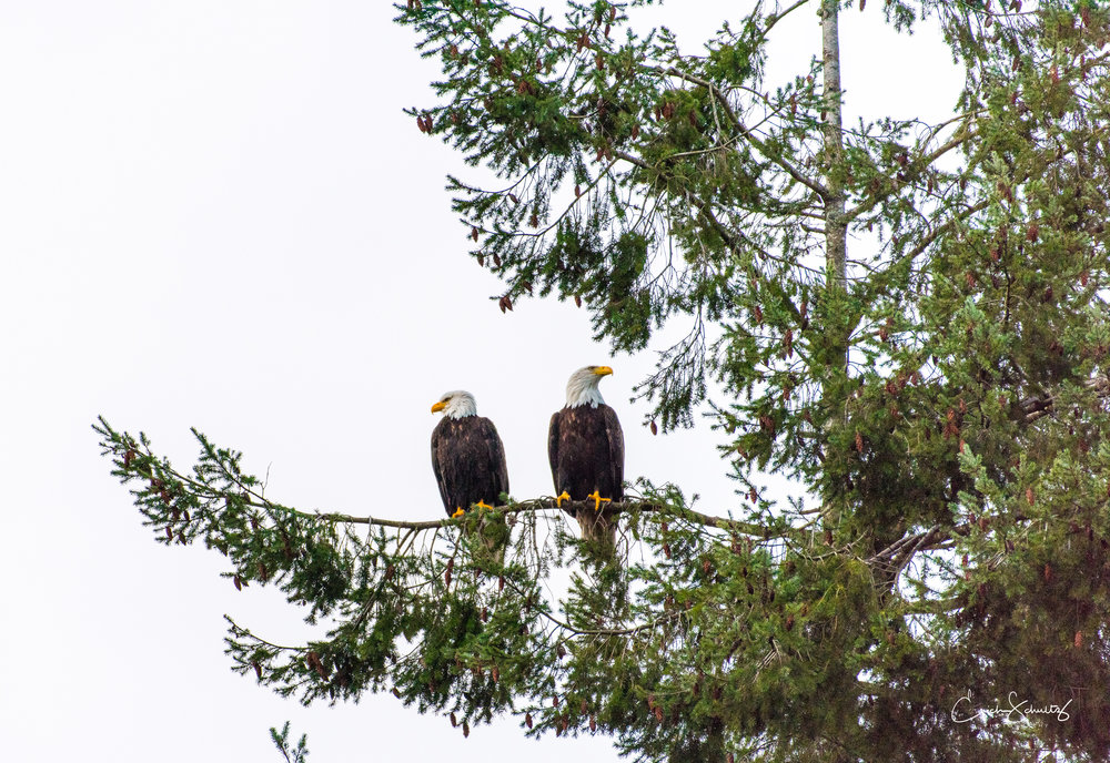 In Suquamish, Washington, it is not uncommon to see eagles. In fact they are everywhere. This particular day, there was an unusually loud sound of eagles, so I grabbed my camera and went to investigate. I watched the entire ritual, the courtship, mating, and their separation as the female finally flew away. The actual courtship and song lasted several minutes, while the actual mating just a few short seconds. Photo by Erich Schultz