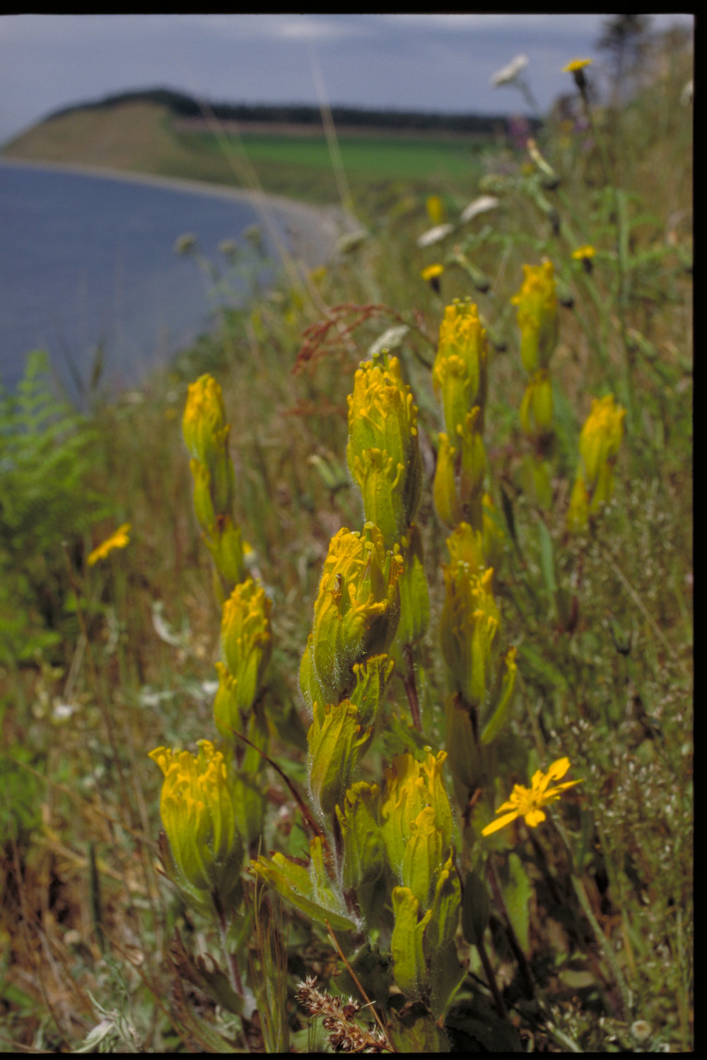 Golden Indian paintbrush at Ebey's Landing. Photo by Peter Dunwiddie/TNC.