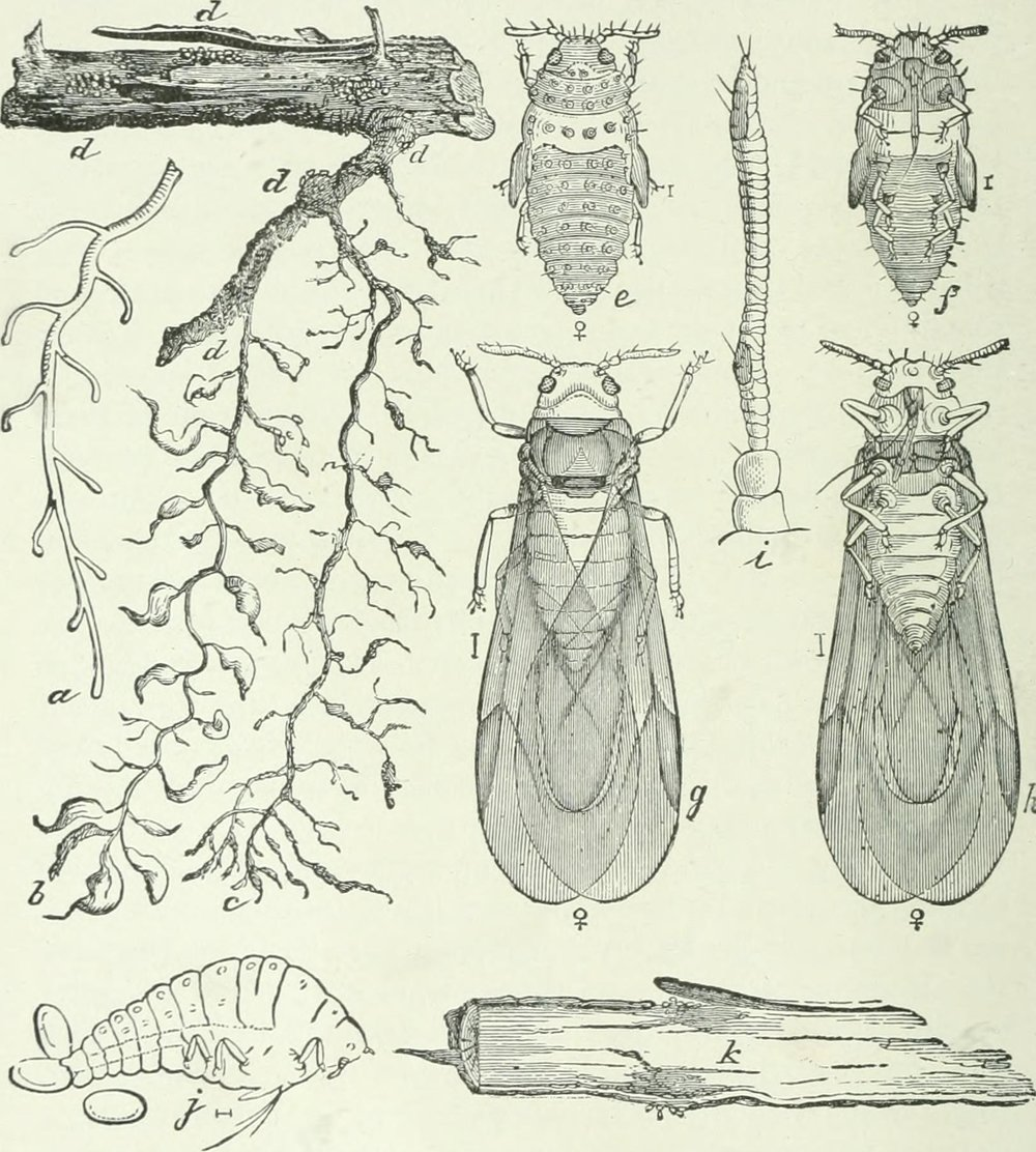 "Phylloxera vastatrix, right, and grape rootlets. Scan from "" Economic entomology for the farmer and fruit-grower : and for use as a text-book in agricultural schools and colleges"" (1906)"
