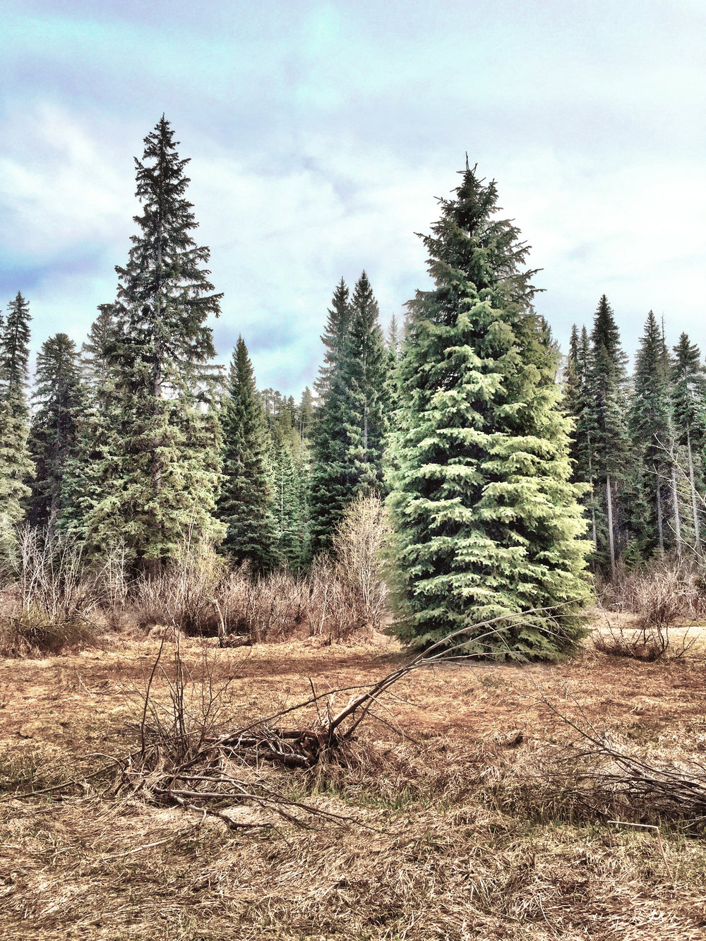 Engelmann spruce in a meadow.