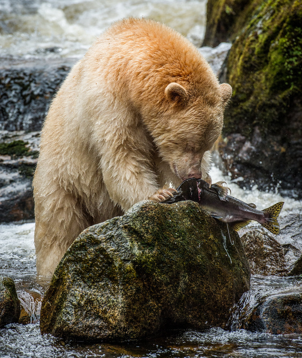 "A Kermode bear or ""spirit bear"" (Ursus americanus kermodei) on Gribbell Island in the Great Bear Rainforest of Canada. Photo by Jon McCormack"