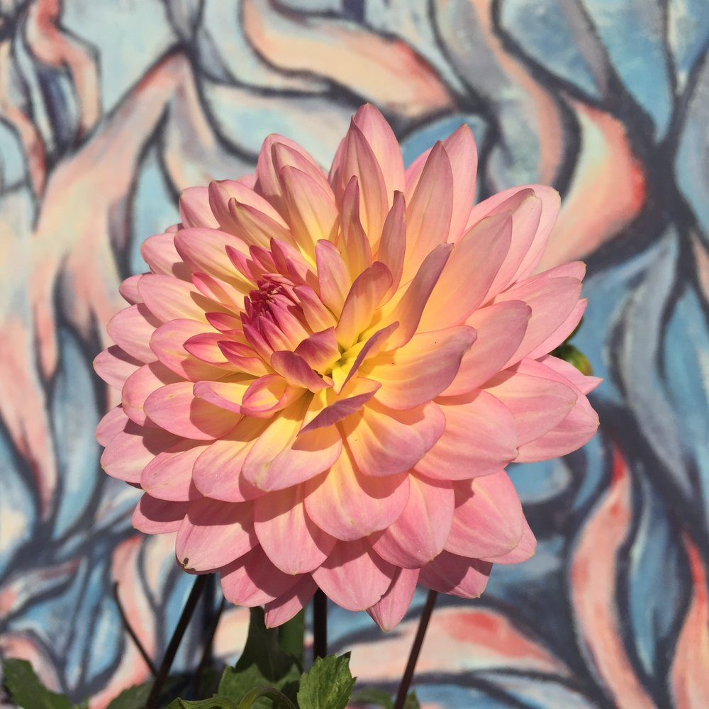 Dahlia,  against a mural painted on a wall at  Seattle Tilth Learning Garden at the Good Shepherd Center in Wallingford . (From Maggie Brown.)