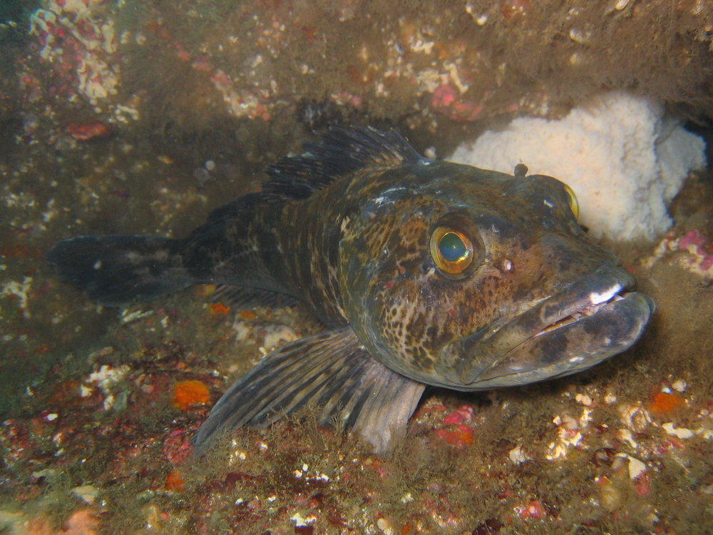 A lingcod. Photo by  Magnus Kjaergaard , taken at Catalina Island, Calif. Licensed under  C C  Attribution-Share Alike 2.5 Generic .