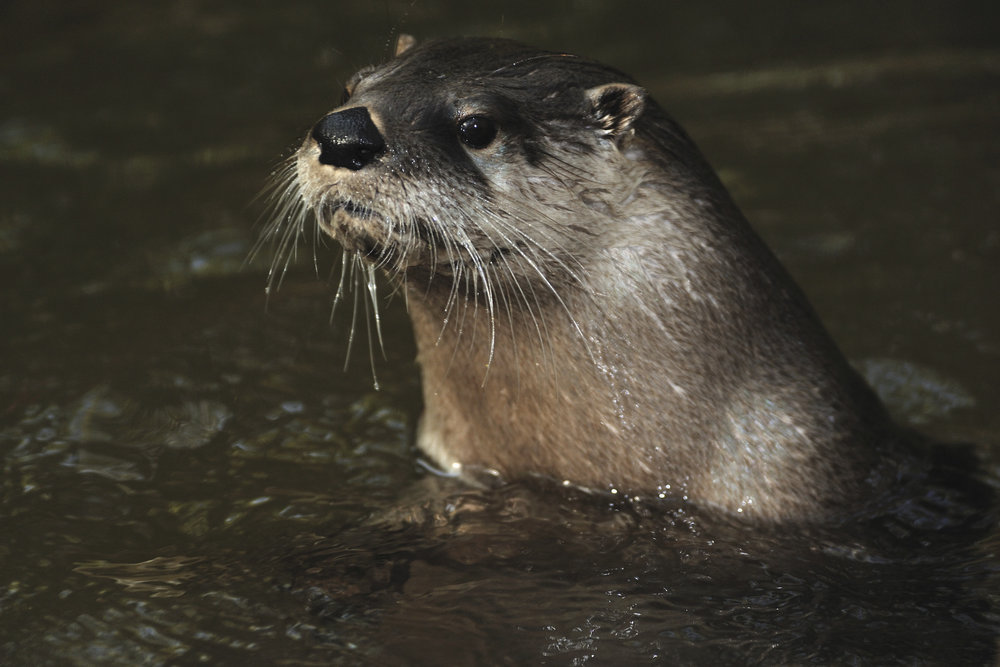 A river otter in Florida. Photo credit: © Mark Conlin / Courtesy of Tallahassee Natural History Museum