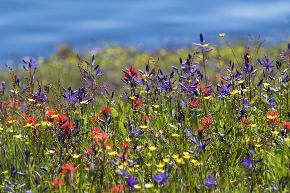 Blooming camas, paintbrush and buttercup. Photo by Sean Galvin.