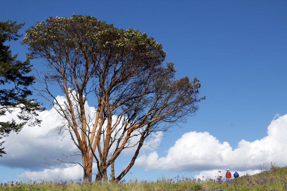A madrone tree towers over visitors on Yellow Island. Photo by Sean Galvin.