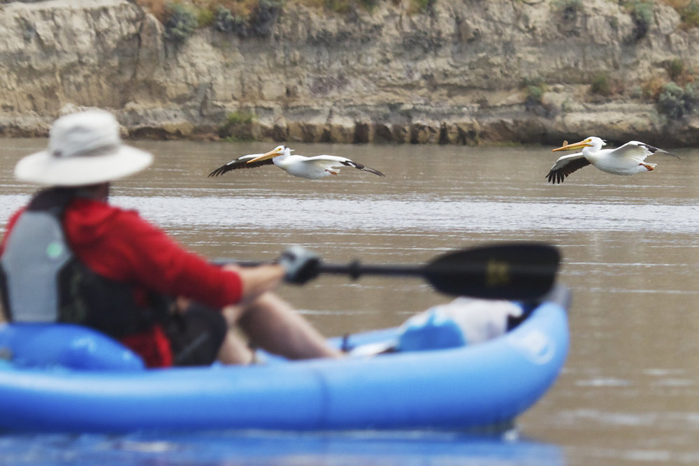 American white pelicans fly past a kayaker on the Columbia River in the Hanford Reach National Monument. Photo by Michael Deckert.