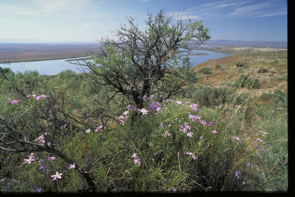 Sagebrush phlox at Hanford Reach. Photo by Keith Lazelle.