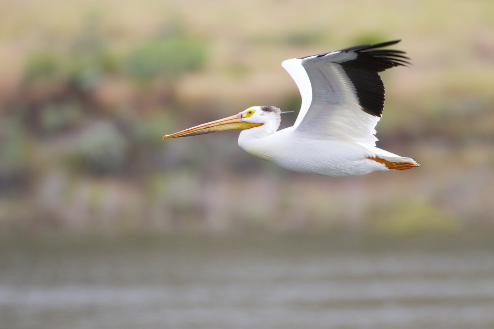 An American white pelican (Pelecanus erythrorhynchos) flies through the Hanford Reach National Monument. Photo by Michael Deckert.