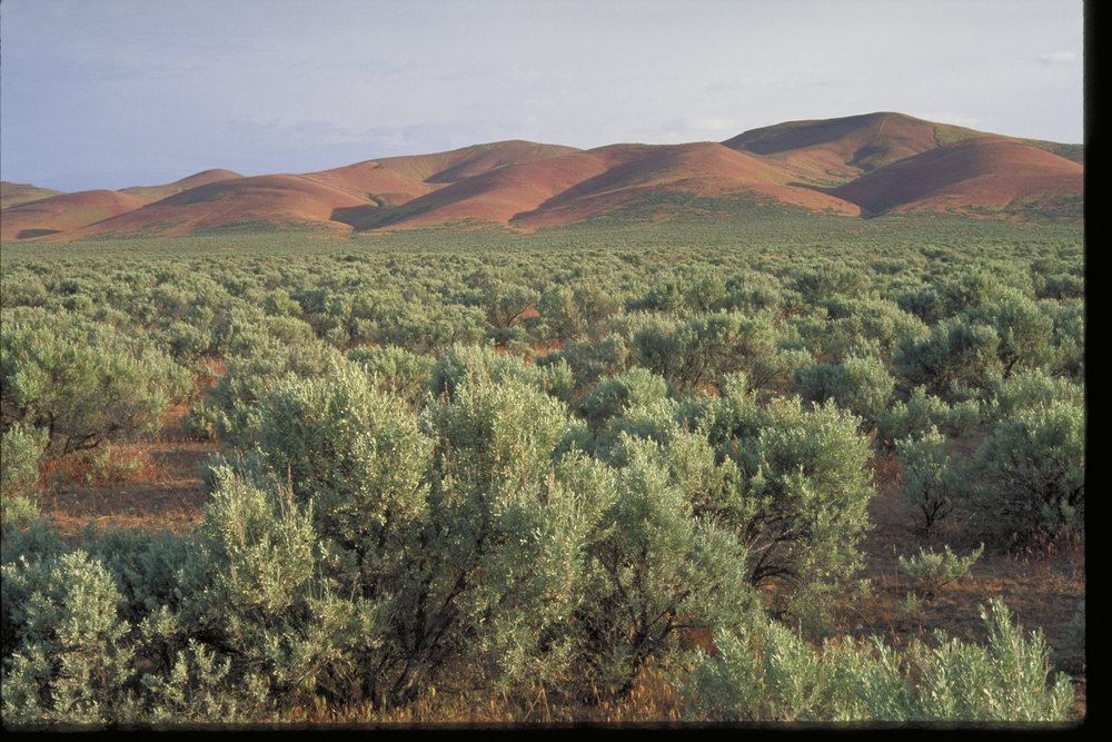Sagebrush below Saddle Mountains at Hanford Reach. Photo by Keith Lazelle.
