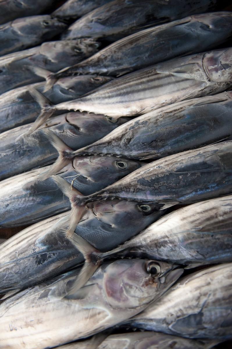 Juvenile tunas. PHOTO CREDIT: © Nick Hall