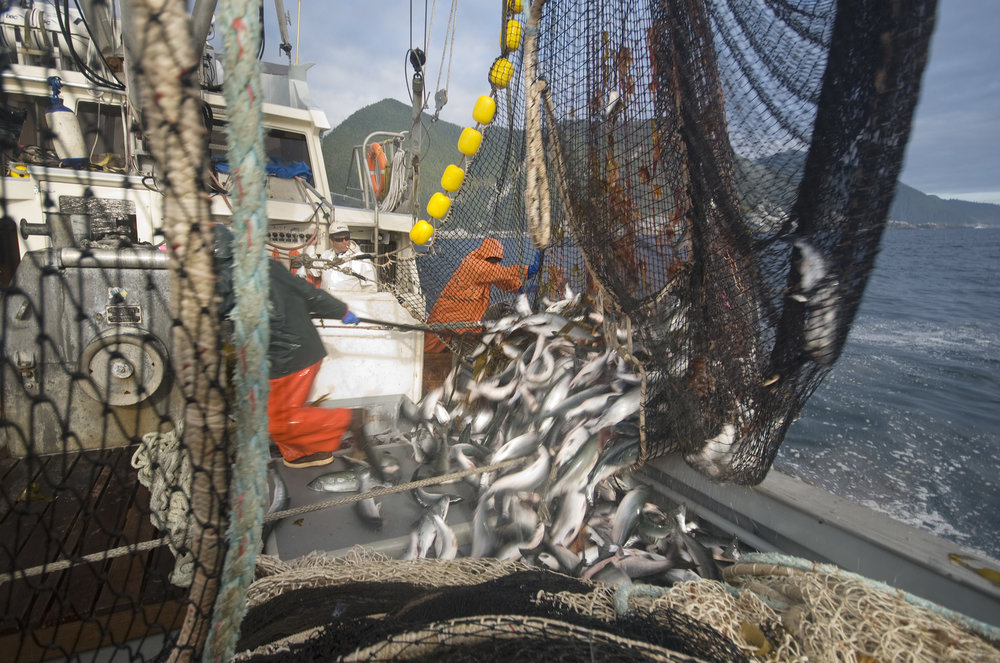 Hauling in the catch on a commercial salmon fishing boat along the coast of the outer islands, west of Prince of Whales Island, off southeast Alaska. PHOTO CREDIT: ©Bridget Besaw