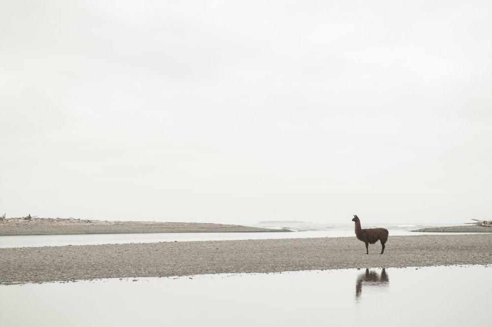 "The ""Hoh River Llama"" at the mouth of the Hoh River. Photo by Nikolaj Lasbo/TNC"