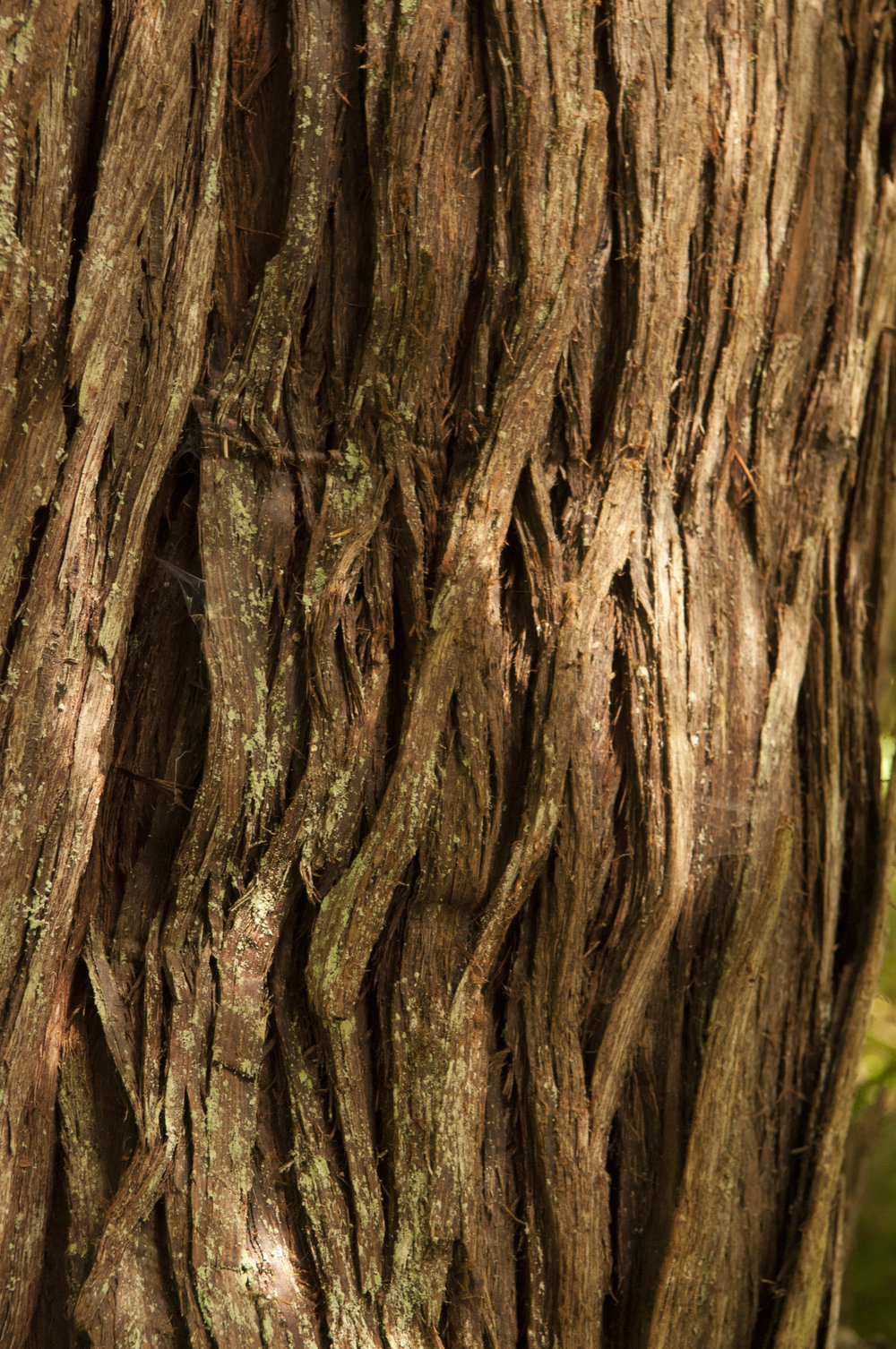 Closeup of a Western red cedar. Photo by Nikolaj Lasbo