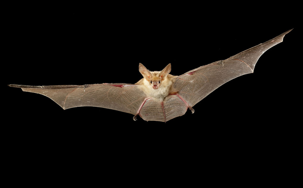 A pallid bat (Antrozous pallidus) flying at night near Sulphur Springs, high-desert habitat, Washington.  Photo by Michael Durham.