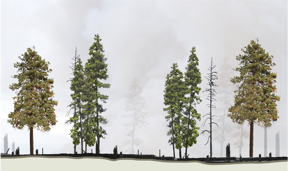 Above: The majority of trees are scarred at their trunks, but remain alive. The ground is covered with a mix of soil and ash, with a few snags for wildlife. This forest can regrow and withstand future wildfires, thus holding on to its timber value and ecological benefits. Future wildfires can also be safely managed if they threaten human communities.