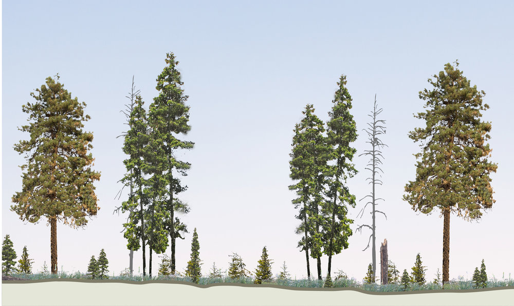 Above: Thinning trees and intentional prescribed burning has resulted in a forest stand that contains large trees with space in between. Vegetation and other debris are minimal on the forest floor, making the stand more resilient to high-severity wildfires.