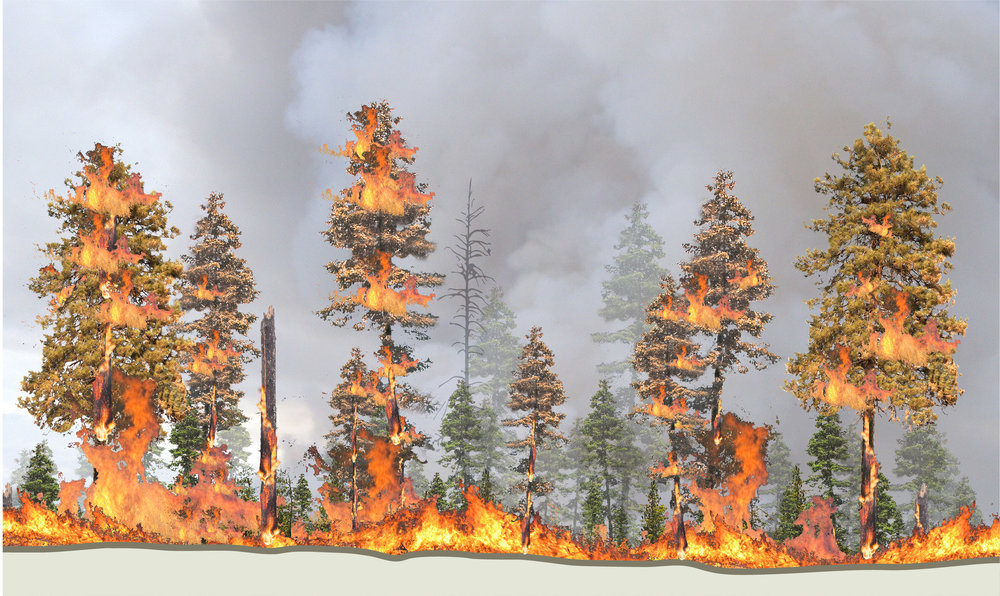 Above: The overabundance of vegetation and debris on the forest floor becomes fuel for wildfires to completely burn through a forest stand. As the fire moves from the ground into the trees' foliage, it burns the crowns of tall trees, causing historically resilient trees to die, too.