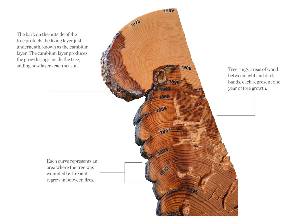 "Above: This cutout of a ponderosa pine (known as a ""cookie"") allows us to study tree rings to learn what the tree experienced. The curves on the cookie's left side (marked with years) show how the tree grew back over its wounds in response to fire."