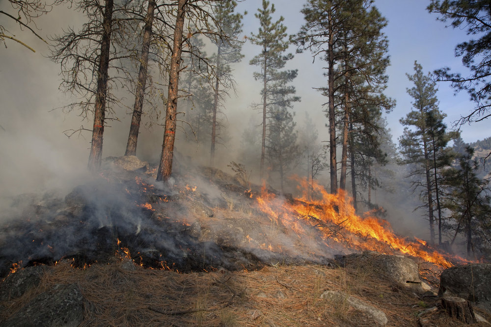 Prescribed fire in ponderosa pine forest in fall on Sinlahekin Wildlife Area in Okanogan County. Photo by John Marshall.