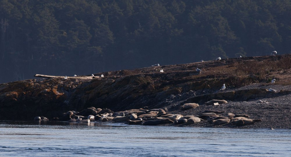 Harbor seals on the north end of Goose Island. Photo © Phil Green / TNC