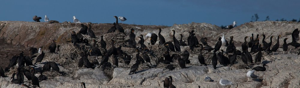 Close-up of double-crested cormorants on their nesting site. Photo © Phil Green / TNC