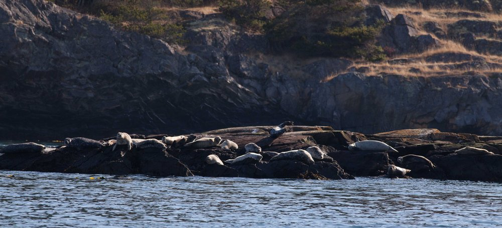 Harbor seals on Deadman Reef. Photo © Phil Green / TNC