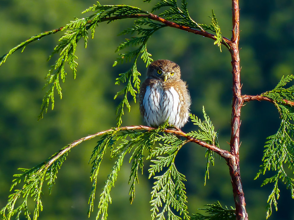 The Northern pygmy owl. Photo © David Ryan / TNC