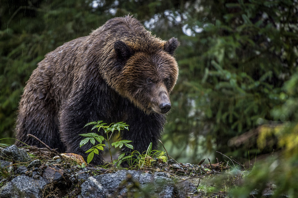 A grizzly bear at Mussel Inlet of the Great Bear Rainforest in Canada. The 21-million-acre Great Bear Rainforest is the largest coastal temperate rainforest on Earth. Photo credit: © Jon McCormack