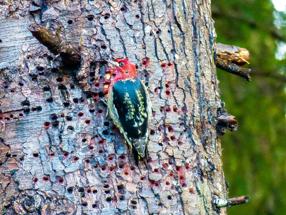 A red-breasted sapsucker among its array of sap wells. Photo © Dave Ryan / TNC