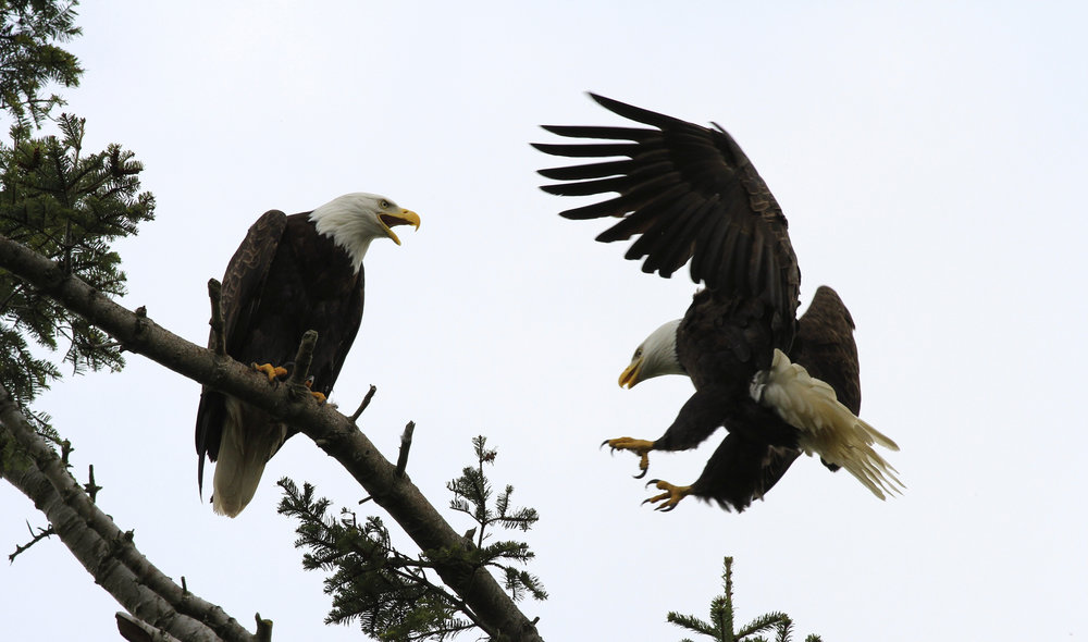 Bald eagles on the Skagit River. Photo © Photo by Mike Benbow.
