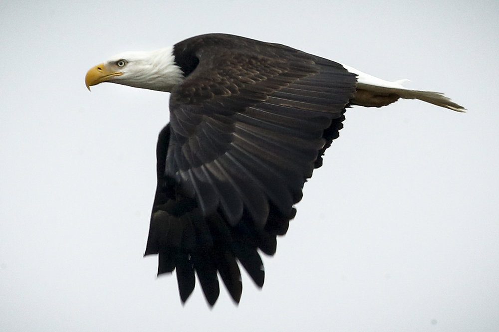 A bald eagle flies over Port Susan Bay near Stanwood on Saturday, Feb. 4, 2017. Photo by Ian Terry / The Herald.