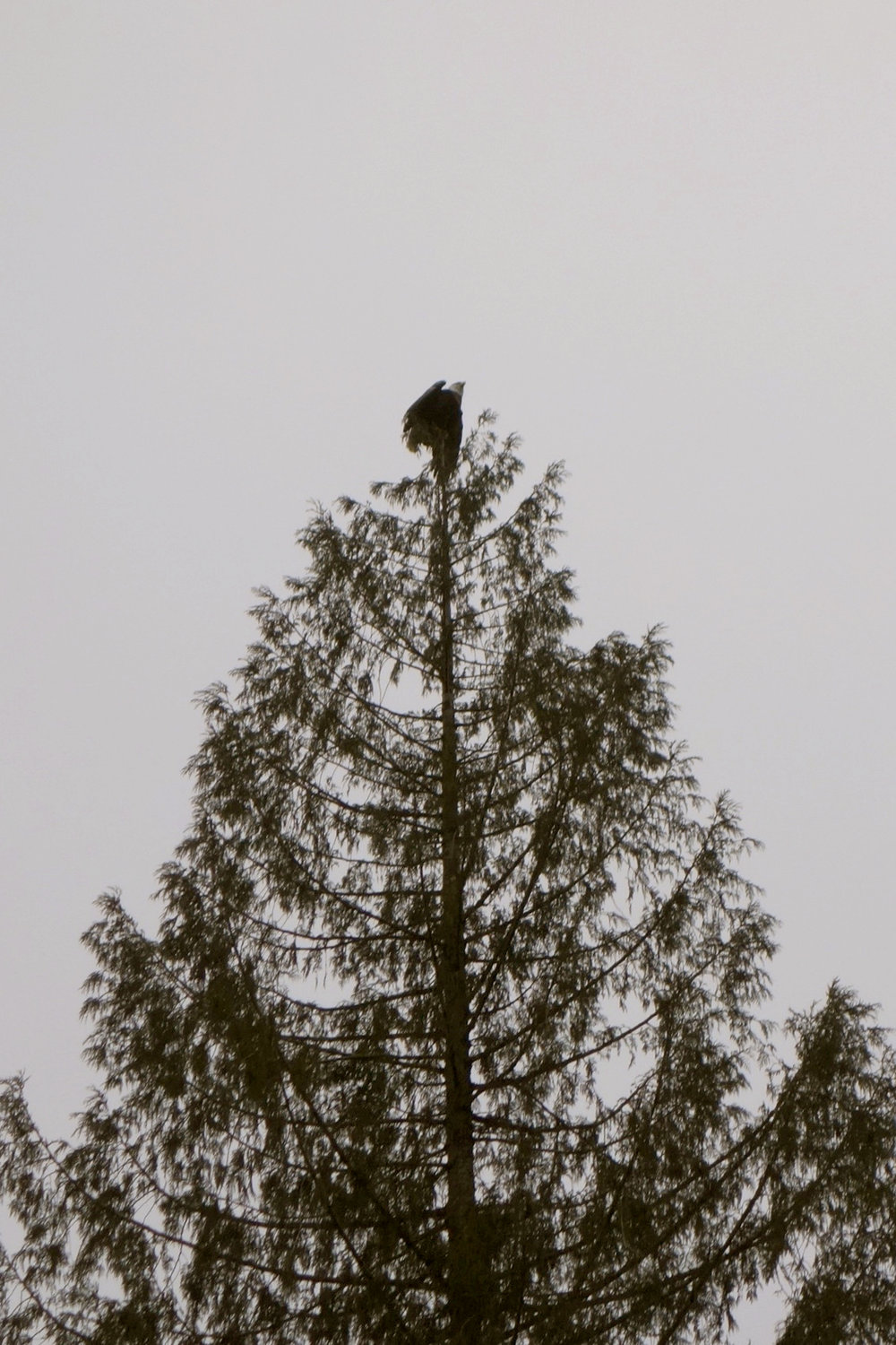 An eagle tops a tree on the Skagit River. Photo © Carol Ingram