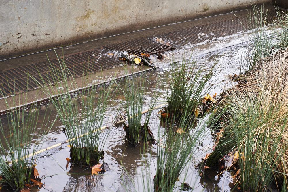 Rain garden and storm drain.Photo by Michael B. Maine.