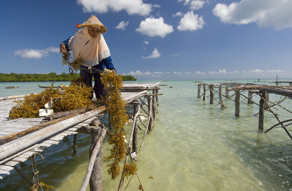 Harvesting seaweed in Liya village on the island of Wangi Wangi in Indonesia. Photo by Bridget Besaw.
