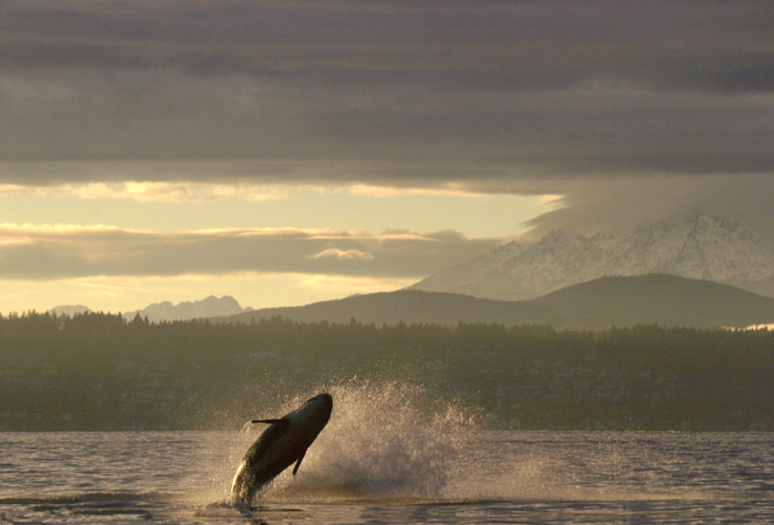 Orca whale breaching off Bainbridge Island in Puget Sound, near Seattle, Olympic Mountains in the distance. Photo by Joel Rogers.