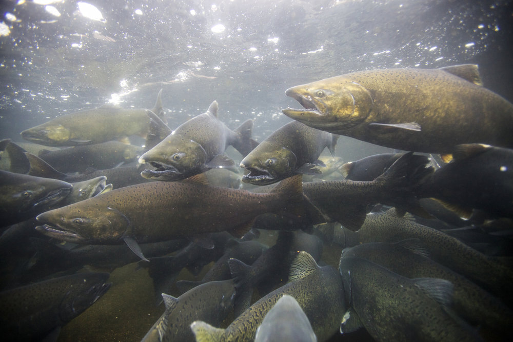 Underwater photography of adult salmon. © USFWS