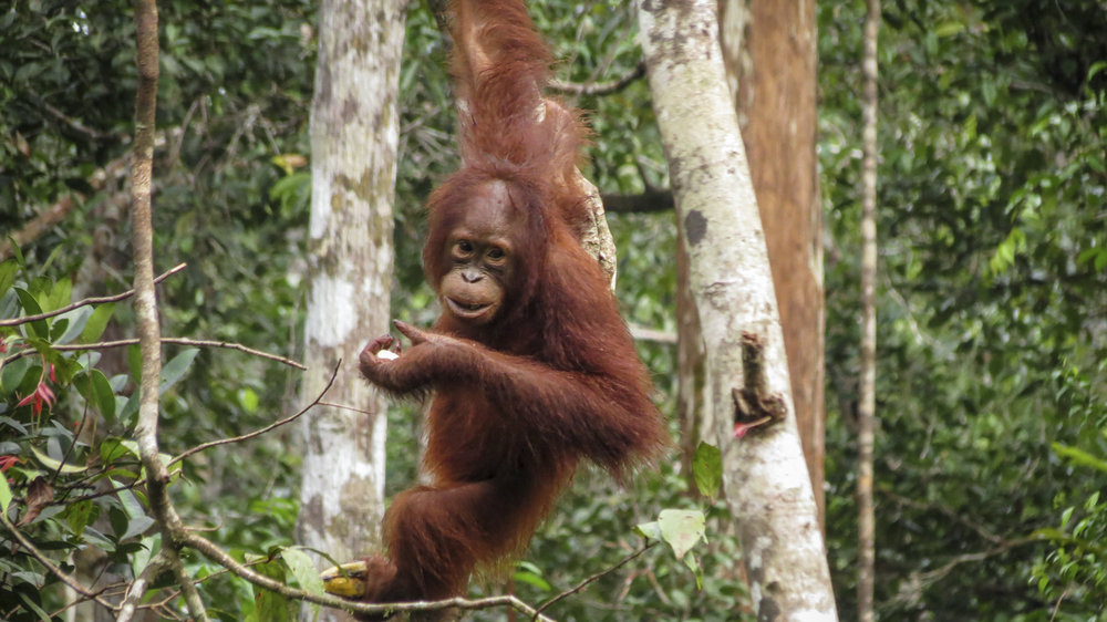 An orangutan in Tanjung Puting National Park in Borneo, Indonesia. Photo credit: © Katie Hawk
