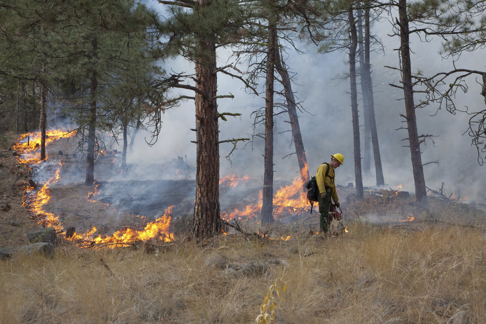 Prescribed fire in ponderosa pine forest in fall on Sinlahekin Wildlife Area in Okanogan County. Treatment unit is Conner 5, which had been logged and thinned in winter prior. Seth Midkiff lighting with drip torch. Photo by John Marshall.