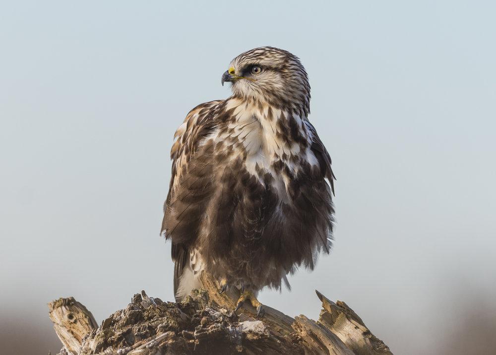 Only found in Washington during winter: Rough-legged Hawk (juvenile). Photo by Ken Salzman