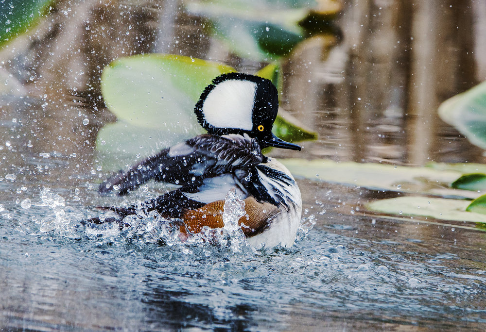 Migrates within Washington, usually to the west, in winter: Hooded Merganser (male).  Photo by Ken Salzman.