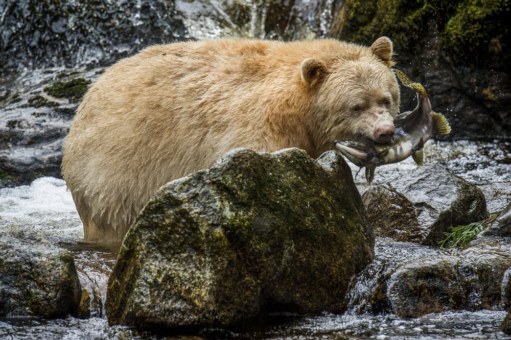 "A Kermode bear or ""spirit bear"" (Ursus americanus kermodei) on Gribbell Island in the Great Bear Rainforest of Canada. The 21-million-acre Great Bear Rainforest is the largest coastal temperate rainforest on Earth. Photo by Jon McCormack."