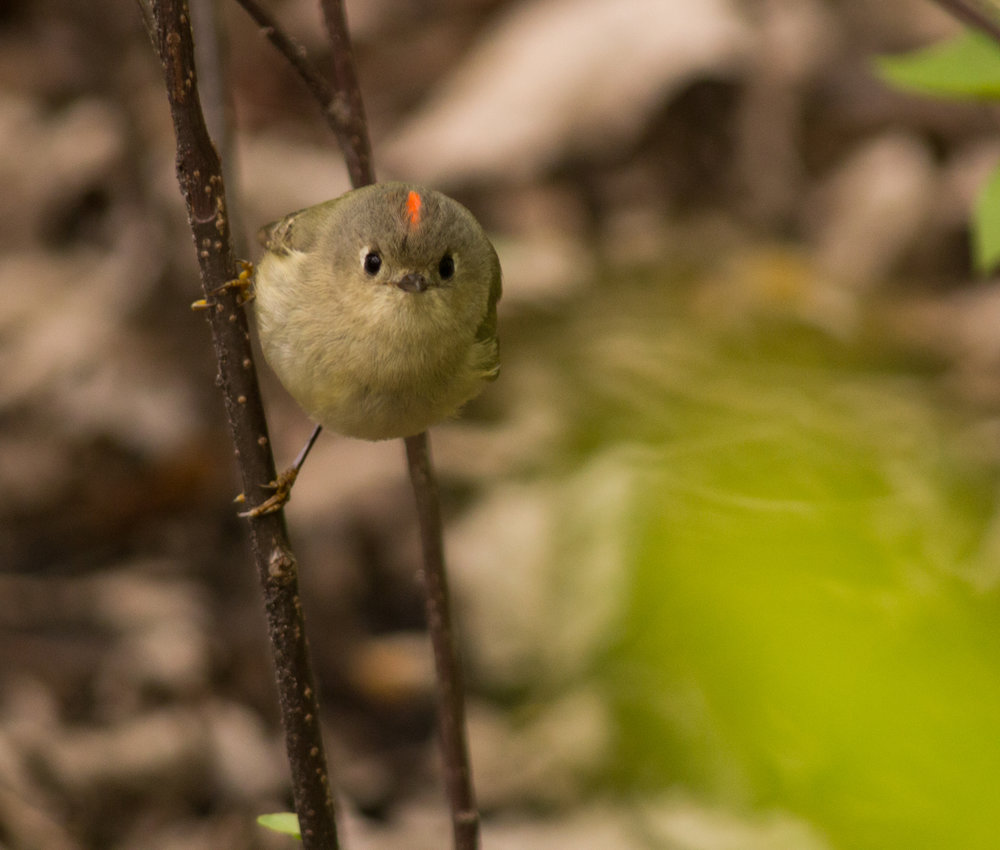 Ruby crowned kinglets. Photo © USFWS