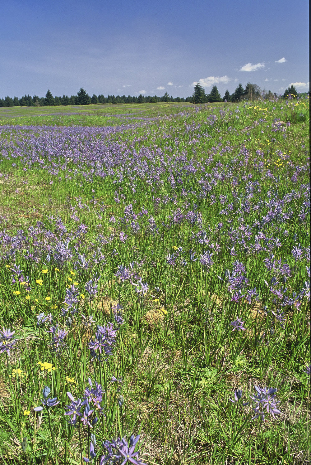 Camas in spring bloom at Glacier Heritage Reserve south of Olympia, WA. Photo by Keith Lazelle.