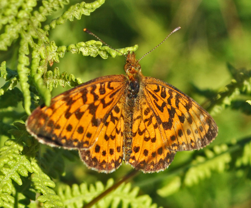 The silver-bordered fritillary butterfly,  a species of concern in Washington , is shown here in its wetland habitat at Spur Lake Natural Area in Wisconsin. Photo by aarongunnar at  https://flickr.com/photos/59003943@N00/9448868405