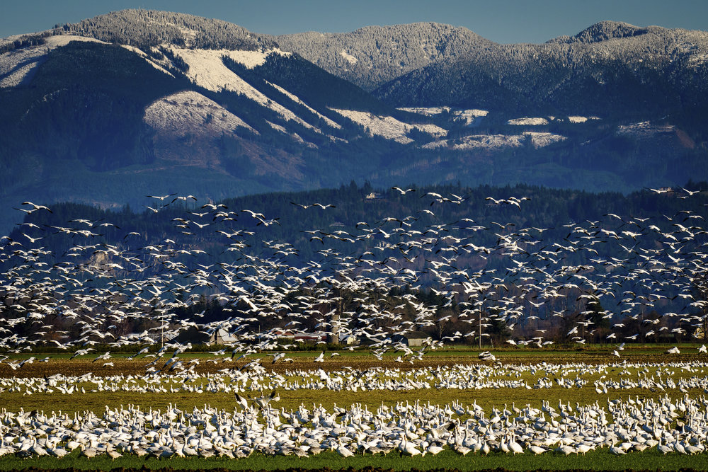 Migratory snow geese at the Skagit Wildlife Area draw birdwatchers from around the world. This place is protected by LWCF. Photo by Michael McAuliffe.